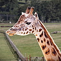 Giraffe 02 by Paul Gulliver