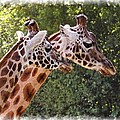 Giraffe 03 by Paul Gulliver