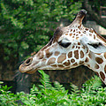 Giraffe-09028 by Gary Gingrich Galleries