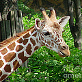 Giraffe-09034 by Gary Gingrich Galleries