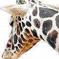 Giraffe by Adam Vance
