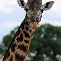 Giraffe  by Aidan Moran