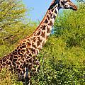 Giraffe Among Trees. Safari In Serengeti. Tanzania by Michal Bednarek