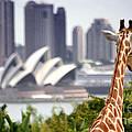 Giraffe and Sydney