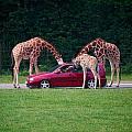 Giraffe. Animal Studies by Jouko Lehto
