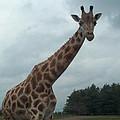 Giraffe by Barbara McDevitt