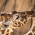 Giraffe Being Hand Fed by Imagery by Charly