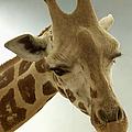 Giraffe by Bob Slitzan