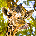 Giraffe Cleaning His Face by Mark Tisdale