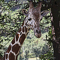 Giraffe by Donna Coupe