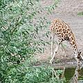 Giraffe Drinking by FL collection