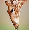 Giraffe Eating Close-up by Johan Swanepoel