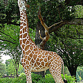 Giraffe Eats-09053 by Gary Gingrich Galleries