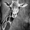 Giraffe Face In Black And White by Jill Battaglia