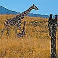 Giraffe Family In Living Desert Museum In Palm Desert-california by Ruth Hager