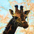 Giraffe by Frank Larkin