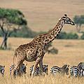 Giraffe Giraffa Camelopardalis by Ferrero Labat