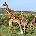 Giraffe Group On The Masai Mara by Aidan Moran