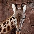Giraffe Head by Brothers Beerens