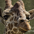 Giraffe Hey Are You Looking At Me by Thomas Woolworth