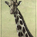 Giraffe by James W Johnson