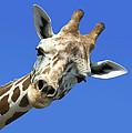 Giraffe by John Greim