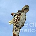 Giraffe Kiss by Tap On Photo