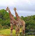 Giraffe Males Before The Storm by Catherine Sherman
