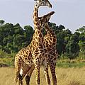 Giraffe Males Sparring Masai Mara Kenya by Gerry Ellis