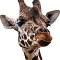 Giraffe  by Marcia Colelli