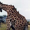 Giraffe by Marida Lin