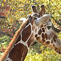 Giraffe by Nathanael Smith