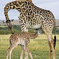 Giraffe Nuzzling Her Nursing Calf by Suzi Eszterhas