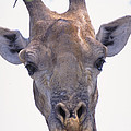 Giraffe by Art Wolfe