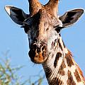 Giraffe Portrait Close-up. Safari In Serengeti. by Michal Bednarek