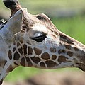 Giraffe Portrait by Dan Sproul