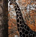 Giraffe Posing by Thomas Woolworth