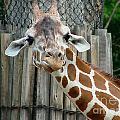 Giraffe-really-09025 by Gary Gingrich Galleries