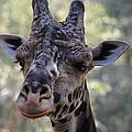 Giraffe by Richard Bryce and Family