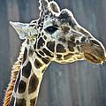 Giraffe by SC Heffner