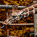 Giraffe Showing His 20 Inch Tongue by Thomas Woolworth
