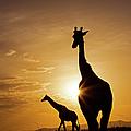 Giraffe Sunset by Wldavies