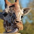 Giraffe by Tonya Hance