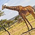 Giraffe Walking To Their Tree by Perla Copernik