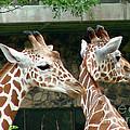 Giraffes-09023 by Gary Gingrich Galleries
