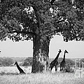 Giraffes And Baobab Tree by Chris Scroggins