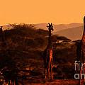 Giraffes At Sundown by Lydia Holly