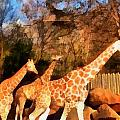Giraffes At The Zoo by Dan Sproul