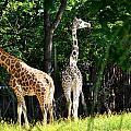 Giraffes  by Diane Lent