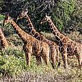 Giraffes Galore by Wendy White